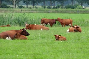 Graangevoerd en grasgevoerd vlees